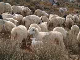 H Αγροτική ζητά τα άτοκα δάνεια σε κτηνοτρό φους, να τα επιστρέψουν, με 12% επιτόκιο, εντ ός 3 ημερών...