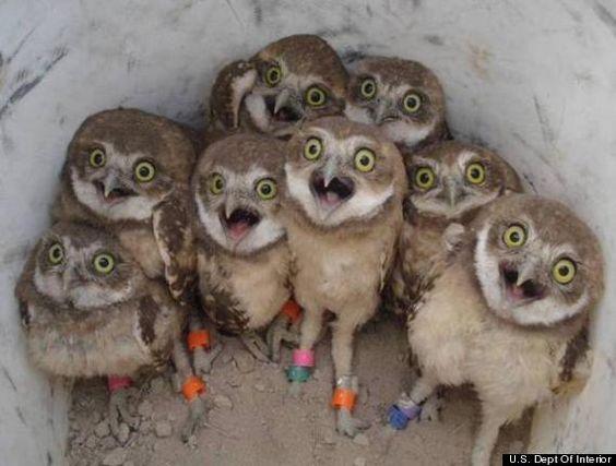 owls-ha-ha-ha-lol