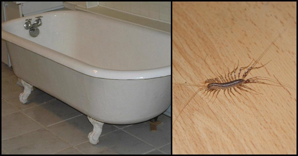 Και όμως, δείτε πως μια σαρανταποδαρούσα προστατεύει το σπίτι της απο αλλα έντομα!