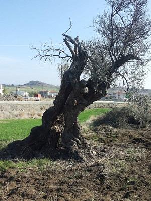 cyprus trees2