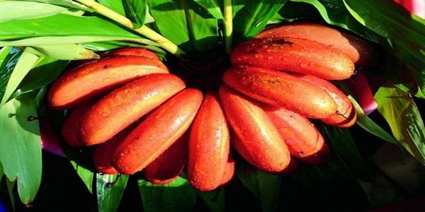 bananas red