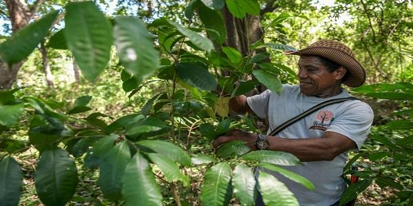Guaimaro, ένα «μαγικό δέντρο» προστατεύει τον πλανήτη