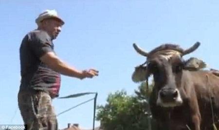 cow penka