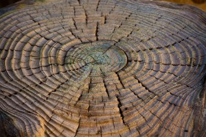 An old tree stump, showing its age.