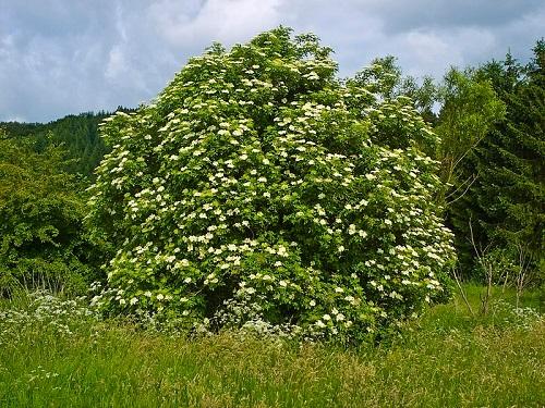 Σαμπούκος, ένα ισχυρό παραδοσιακό βότανο
