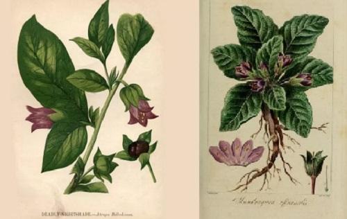 belladona mandragoras
