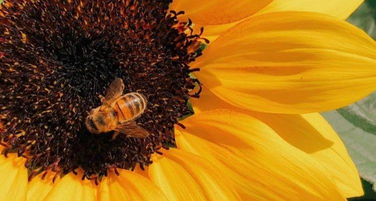 Τσίμπημα από μέλισσα: Πώς μπορούμε να το αντιμετωπίσουμε.